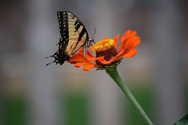 butterfly flower butterfly and flower pictures butterfly on flower free pictures on