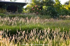 meadow garden drought tolerant front yard lawn substitute using