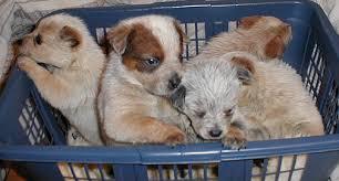 australian shepherd qld cattledog com internet home of all things australian cattle dog