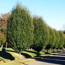 Backyard Privacy Trees Improved Leyland Cypress Privacy Trees Cypress Trees And