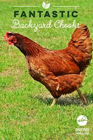 28 best rhode island red chickens images on pinterest rhode