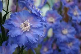 begonia flower blue lagoon supplied by begonia delphinium specialist flower
