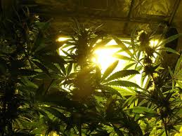 growing weed for dummies 10 simple steps to get you started