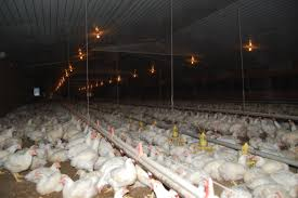 K Hendesign Layer Hen Housing And Manure Management By Lpe Learn Center Exposure