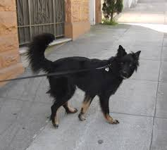 belgian sheepdog mixed with border collie hello there my friend the dogs of san franciscothe dogs of san