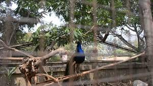 merak biru merak biru taman burung lokasi taman mini indonesia indah