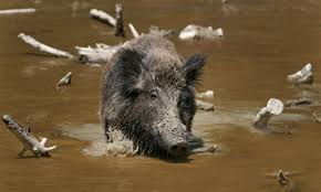 plants native to south carolina from damaged crops to polluted waterways wild hogs wreak havoc on