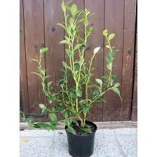 mirtillo in vaso mirtillo gigante bluegold vendita vivai piante gabbianelli