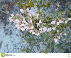 native plants for bees flowering wild rosemary florida native plant stock photo image