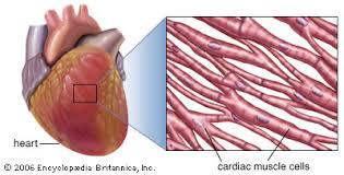 Diagram Heart Anatomy Human Anatomy Diagram Cardiac Muscles The Visual Illustration