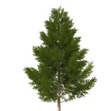 3d pine tree 11 m cgtrader