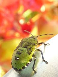 was ist das für ein insekt eine wanze oder was urlaub insekten wanze insekt bilder pixabay kostenlose bilder herunterladen