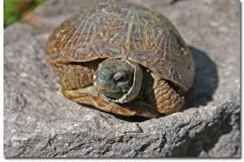 western ornate box turtle desertusa