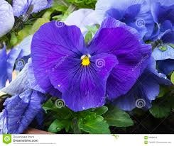 Blue And Purple Flowers Blue And Purple Pansies With Dew Drops Stock Photo Image 69686033