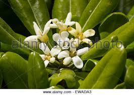 Fragrant Flowers Early Summer Flowers Of The Mock Orange Shrub Philadelphus Stock