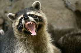 woman drowns rabid raccoon with bare hands after it attacks her