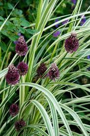 guide to common names of ornamental grasses like silver