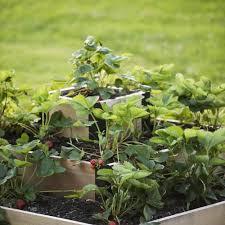 Strawberry Garden Beds Best 25 Strawberry Garden Ideas On Pinterest Strawberries