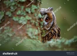 owl on tree portrait longeared stock photo 629038400