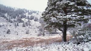snow flakes falling a snow covered scots pine tree in the