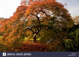 an ornamental japanese maple acer palmatum dissectum in autumn