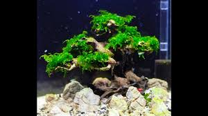 bonsai tree u0027 aquascape step by step youtube