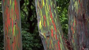 Rainbow Eucalyptus Our Beautiful Planet The Rainbow Eucalyptus Eco Africa Dw