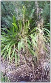 ornamental grass care basics gardening