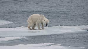 file endangered arctic starving polar bear jpg wikimedia commons