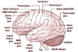 What Is The Main Function Of The Medulla Oblongata Chapter 7 Nervous System