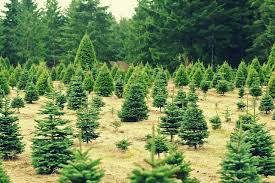 where to cut down a christmas tree in the bay area