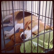 crate training 9 tips on how to crate train your beagle and why