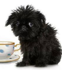 affenpinscher hawaii female dog names