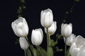 white tulips 8 tulip varieties that will delight your senses