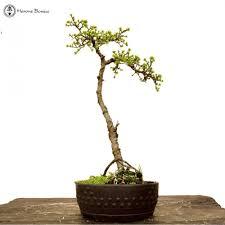 bonsai australian native plants image result for literati bonsai bonsai native species
