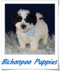bichon frise breeders in pa puppies for sale in pa ridgewood puppies for sale
