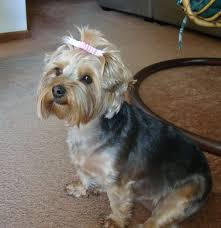 hair accessories for yorkie poos 14 best yorkie cuts images on pinterest yorkie poo haircut