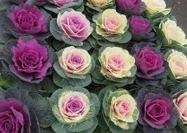 chigusa rakuten global market ten for ornamental cabbage