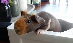 skinny pig care the best source for taking care of your hairless