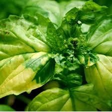 basilico in vaso malattie giardini