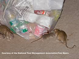 norway rats control u0026 prevention information for rats