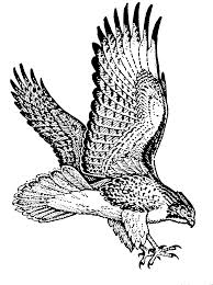 white tailed eagle clipart hawk pencil and in color white tailed