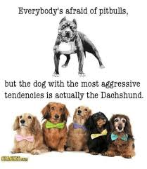Dachshund Meme - everybody s afraid of pitbulls but the dog with the most
