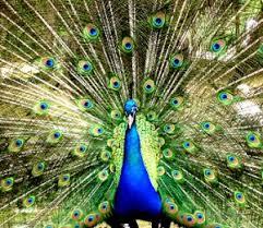 peacock fan craft peacock fan victoriana magazine