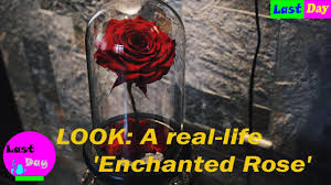 look a real life u0027enchanted rose u0027 youtube