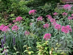 eupatorium from burncoose nurseries