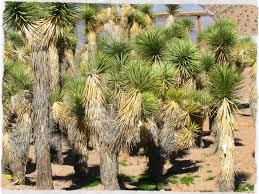 native nevada plants joshua trees cactus joe u0027s las vegas nursery