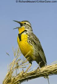 north dakota state bird western meadowlark