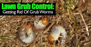 Where Can You Find Snails In Your Backyard Lawn Grubs 7 Steps For Getting Rid Grub Worms In Your Yard