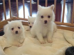 pics of american eskimo dogs nice miniature american eskimo puppies dog breeds puppies